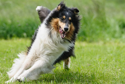 dog-collie-fur-animal-pet