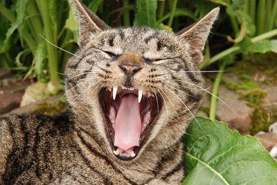 Mammal Teeth Cat Animal Yawn Care Tongue