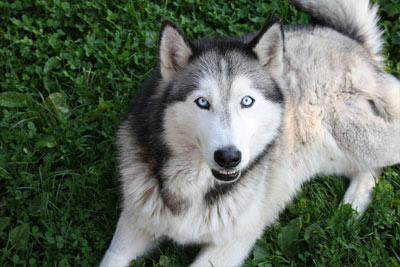 huskies-dog-animal-blue-eyes-view