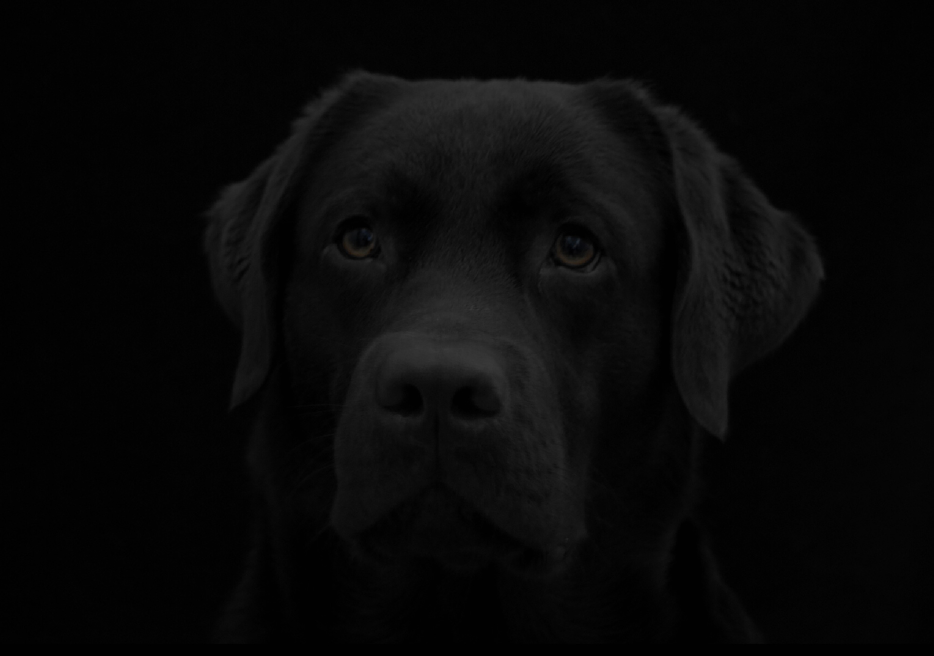 Portrait of a black Labrador in the studio against a black background