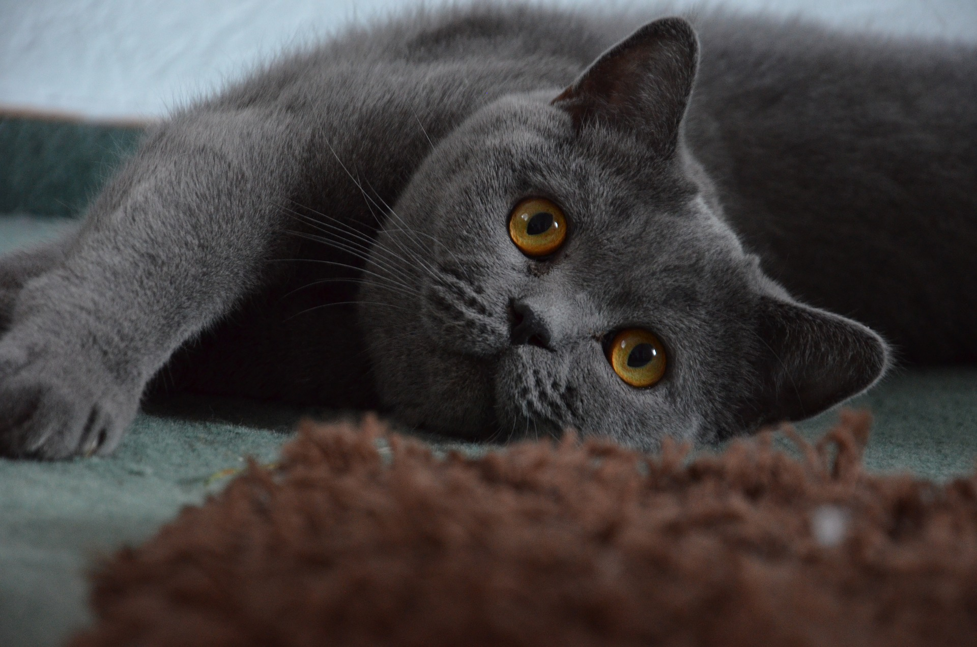 british-shorthair-cat-grey-cute