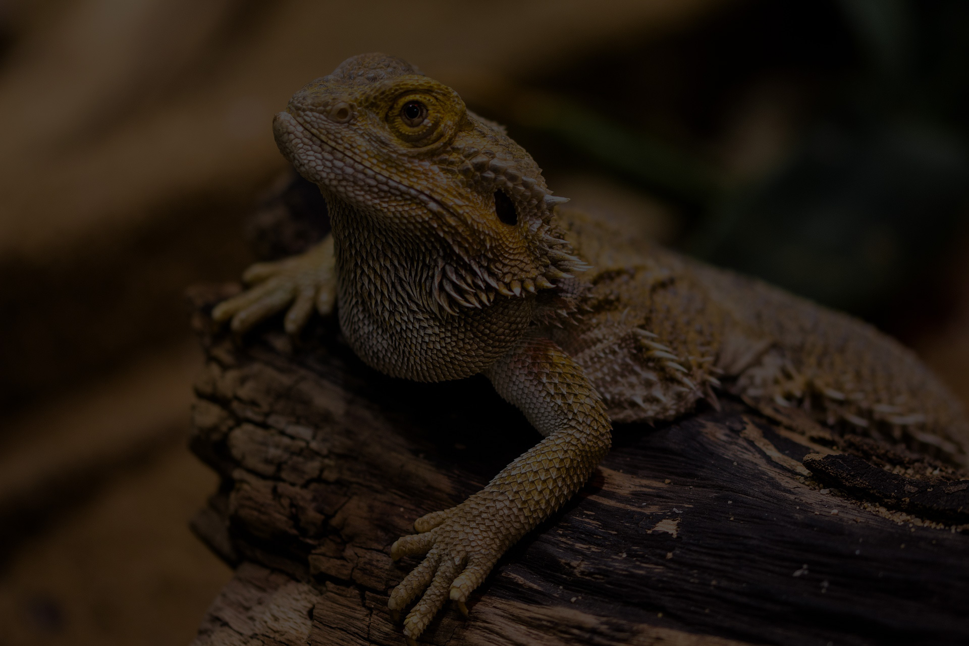 lizard-agame-reptile-amphibian
