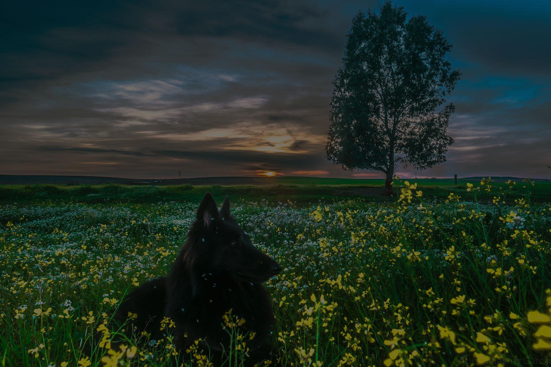 Black Canine Close Up Belgian Sheepdog Dog Pet