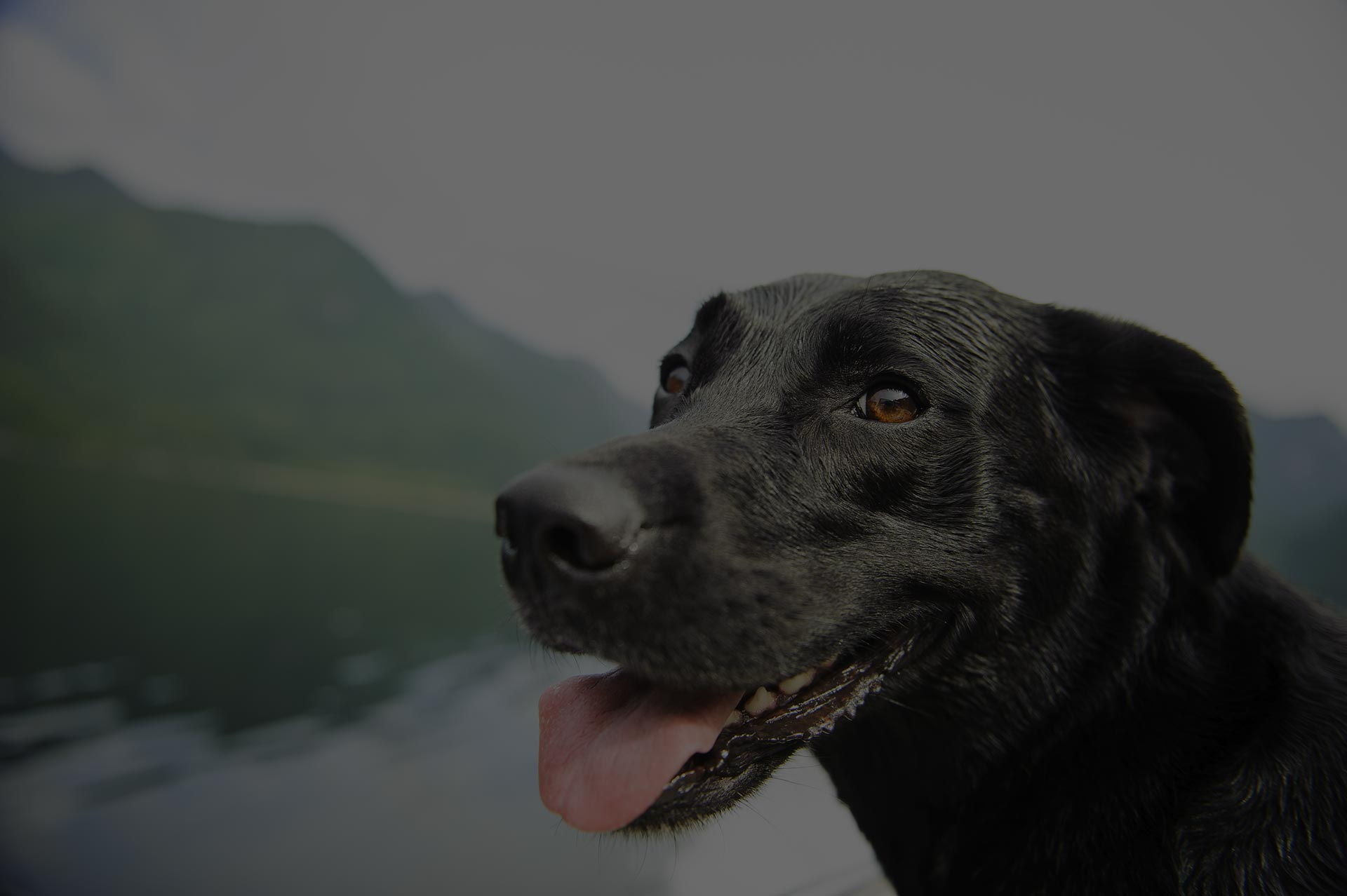 Black Lab smiling at the camera