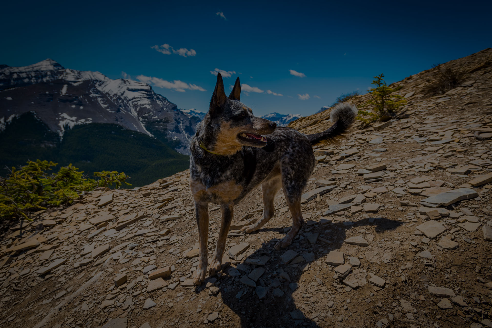 Blue Heeler dog hiking in the Canadian Rocky Mountains